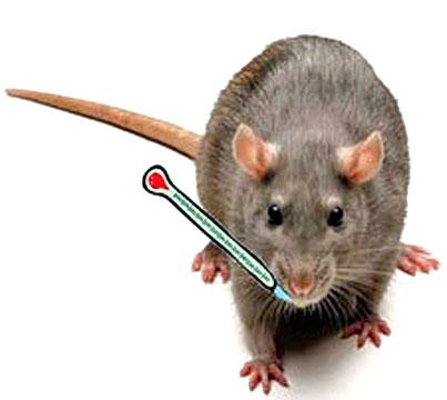 Rat Bite Fever